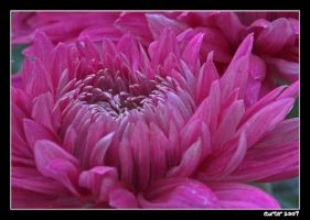 Chrysanthemum Pink by carterr