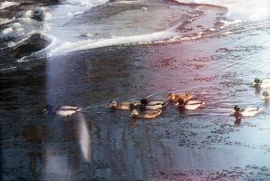 hurrying ducks by foxG