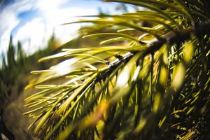 something conifer 2 by JackDunn