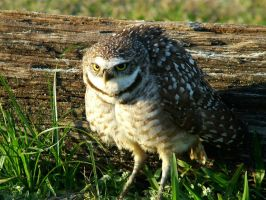 U talkin ta' me -burrowing owl by kiwiplum