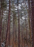 Tall Trees by CiacoAgain