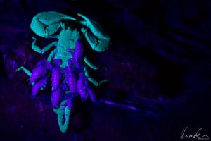 Scorpio #02 (under UV-Light) by vetchyKocour