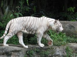 White Tiger Stock 1 by itsonlyaurl