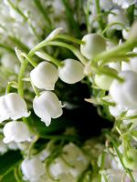 lily of the valley by credosomnium