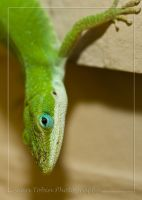 Anole Macro_002 by ST77