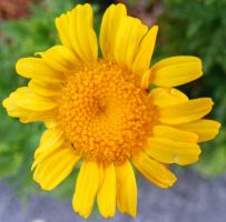Yellow Flower by Pinkatron2000