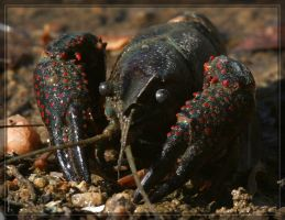 Crayfish 20D0039338 by Cristian-M