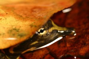 Baby Softshell Turtle 01 by 1ASP1