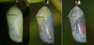 Monarch butterfly chrysalis by segraser