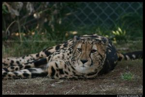 King Cheetah Relaxing by TVD-Photography