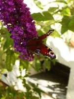 lady butterfly I by NikitaLaChance
