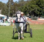 TW arab white carriage trot front on by Chunga-Stock