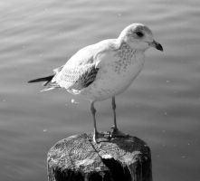 seagull by shyfoxling