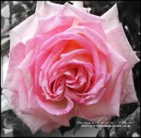 Pink Rose by RazielMB-PhotoArt