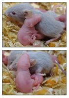 Baby Mice 2 by webworm