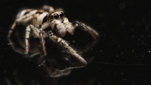 Zebra spider /02 by andabata