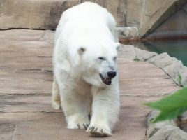 Polar Bear 1 by natureflowerstock