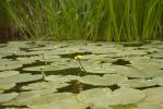 Water Lilies Stock 4 by Sisterslaughter165