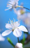 cherry on blue... by TheRedGirl