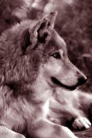 wolf face 2 by TlCphotography730