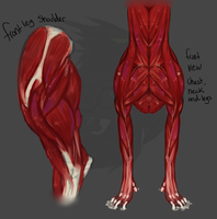 Dog Anatomy Studies by concolour