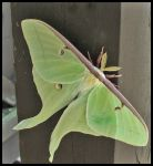 Luna Moth 01 by bamako