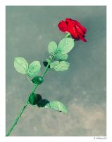 Floating Rose by 91Elena91