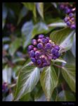 Purple Berries by dannishez