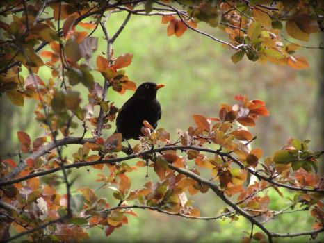 Black Oriole by FxSanyi