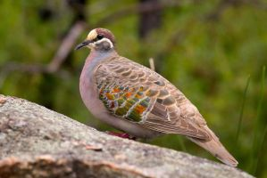 Common Bronzewing (M) by strictfunctor