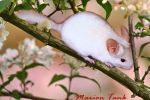 Chinnie in a Cherrytree by Villa-Chinchilla