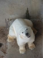 Polar Bear 02 by animalphotos