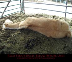 Unusual Angle 06 Palomino by AstriexEquineStock