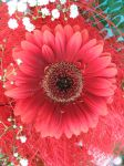 Gerbera boquet closeup by Mithgariel-stock