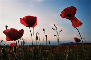 Poppies Are Red, Sky Is Blue by marius-ilie