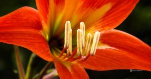 Anthers2 by rnjoschua