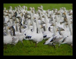 Snow Geese Portrait by swashbuckler