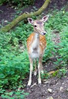 Young inquisitive deer by Steve-FraserUK