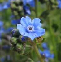 Chinese Forget-me-not by AcceptedOutcast