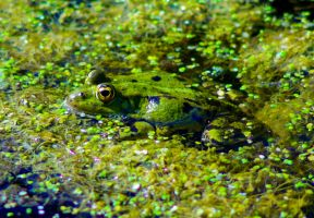 Frog by todto