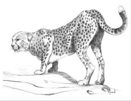 Cheetah by Alvin-and-the-wild