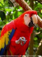 Beautiful Red Macaw by VorpalBeast