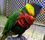 Rainbow Lorikeet by Painted-Nightmares