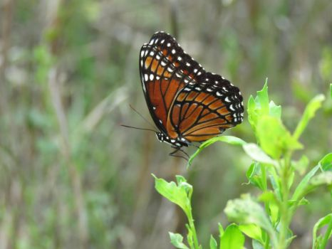 Viceroy butterfly closed by Sorath-Rising
