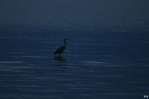 Blue Heron In The Evening by LifeThroughALens84