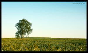 Alone in the canola by BeJay