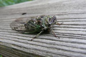 Cicada by Eliea