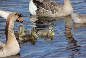 The Grey Geese Family by JetteReitsma