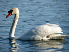 Graceful as a Swan by Michies-Photographyy