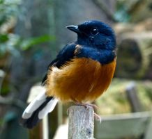 White-rumped Shama by gee231205